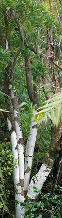 White tree Tiritiri Matangi Island New Zealand - 10 Sep 2006