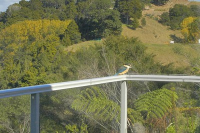 King fisher on Christine Chauca's balcony Whangateau New Zealand - Apr 2005