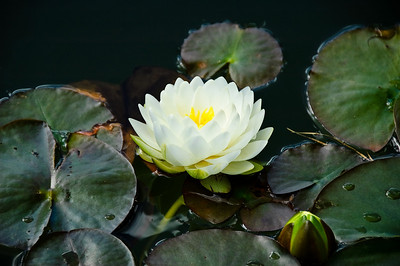 Water lilly Wright's Watergardens Patumahoe Franklin