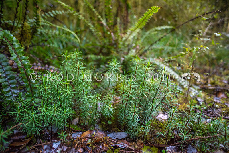DSC_8101274  Giant moss (Dawsonia superba) we share our tallest moss with Australia and New Guinea. Growing on unbranched stems to a height of 50cm and likened to clumps of  young pine seedlings this is one of the world's tallest mosses. Lake Kaniere *