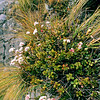 11009-48717 Akaroa sun hebe (Heliohebe  lavaudiana)  One of the 'paniculate' hebes, all of which are confined to the north-east of the South Island of New Zealand. This species is restricted to high rock outcrops on Bank's Peninsula, where it is threatened by browsing animals.
