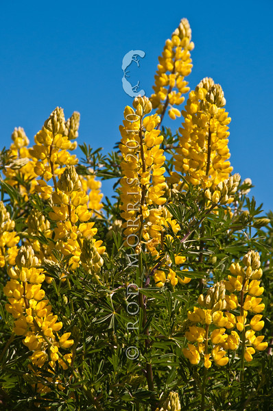 DSC_1938 Yellow bush lupin (Lupinus arboreus) originally from California, this introduced species has changed the chemistry of dune soils, allowing other exotics to establish, to the detriment of our native dune vegetation (which is adapted to low nitrogen levels). Otago Peninsula *