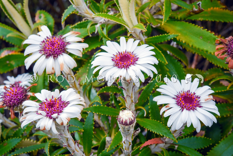 DSC_8650 (Olearia oporina) flowers. A small tree with narrow leathery saw-edged dark green leaves and large yellow, or pink centred whiteish daisy-like heads inhabiting the Fiordland coast. Chalky Island, southwest Fiordland *