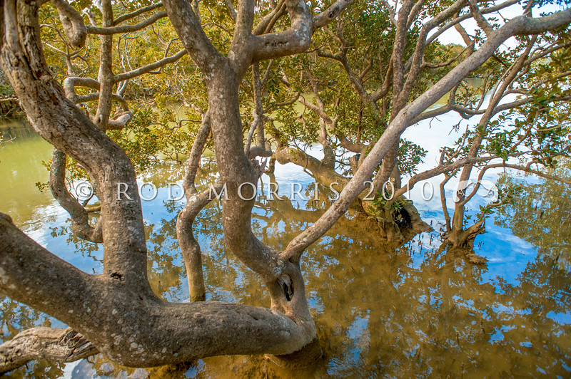DSC_6745 Mangrove (Avicennia marina australasica) large trees at high tide. This pioneer species is the most widespread of the world's mangroves. The fruit matures into a floating seed pod which can survive in sea water and accounts for its ability to colonize new areas. Te Haumi *
