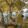 DSC_6745 Mangrove (Avicennia marina australasica) large trees at high tide. This pioneer species is the most widespread of the world's mangroves. The fruit matures into a floating seed pod which can survive in sea water and accounts for its ability to colonize new areas. Te Haumi