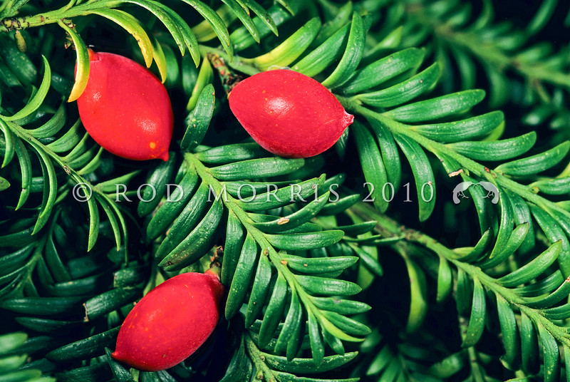 11009-06305  Miro (Prumnopitys ferruginea) leaves and fruit