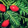 11009-06305  Miro (Prumnopitys ferruginea) leaves and large red fleshy fruits on tree. Dunedin *