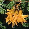 11009-19316 Coastal kowhai (Sophora chathamica) flowers. The most common kowhai in Nortland is this species. It occurs in mainly coastal and lowland sites, such as along the Tutukaka coast, also around Auckland and on most northern offshore islands. Also through to Wellington and the Chatham Islands, but this range south is not considered natural, and is instead the result of deliberate Maori plantings. Te Atatu