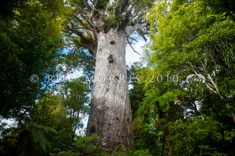 DSC_5671 Kauri (Agathis australis) Tane Mahuta, the largest kauri still standing in Waipoua forest, a remnant of the ancient subtropical rainforest that once grew on the North Auckland Peninsula. Standing a little over 50m tall, and estimated to be between anywhere between 1,250 and 2,500 years old, Tane Mahuta (father of the forest) was first identified by europeans in the 1920s when contractors surveyed the present State Highway 12 route through the forest. Waipoua Forest, Northland *