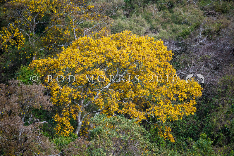 DSC_8101319 Small-leaved kowhai (Sophora microphylla) early flowering tree in coastal forest in late July. Found throughout the North and South Islands, though uncommon in parts of the North Island. Typically grows on alluvial river terraces, flood plains and lake margins in mixed podocarp/hardwood forests. Otago Peninsula *
