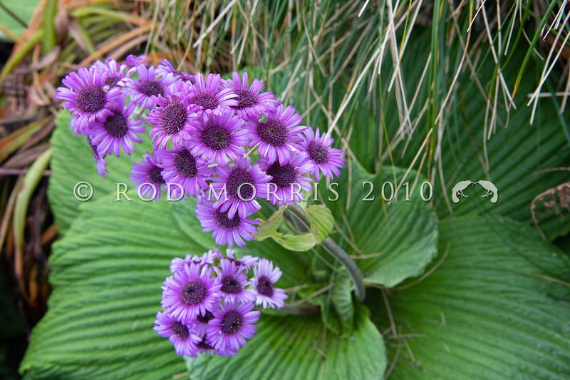 DSC_2682 Great emperor daisy (Pleurophyllum speciosum) the subantarctic's most spectacular megaherb, in flower on Col Lyall, Campbell Island *