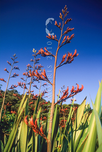 11009-54003  Flax (Phormium tenax) flower stalks against the sky. Little Barrier Island *