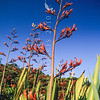 11009-54003  Flax (Phormium tenax) flower stalks against the sky