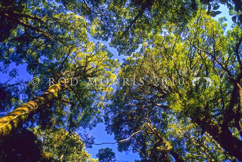 11009-21208 Mountain beech (Fuscospora cliffortioides) sunlight forest canopy. Ruapehu