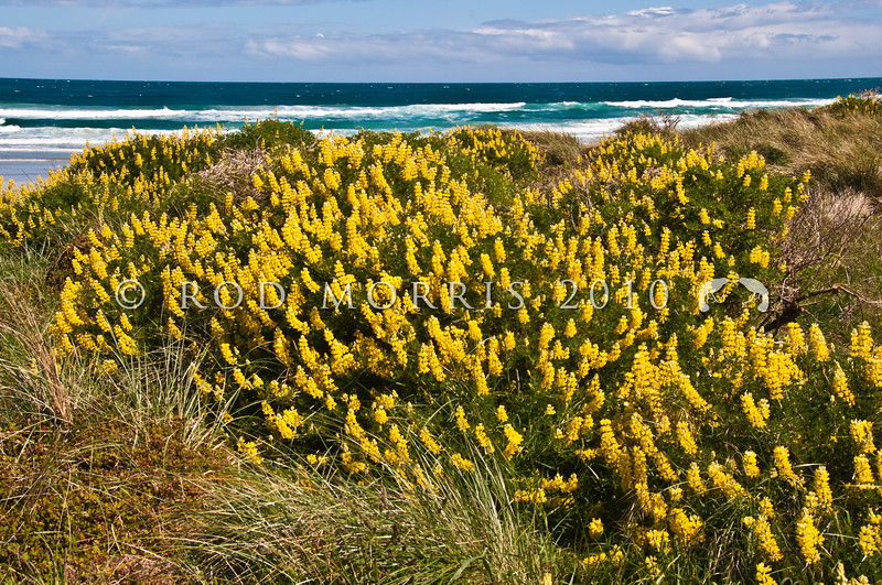 DSC_1942 Yellow bush lupin (Lupinus arboreus) originally from California, this introduced species has changed the chemistry of dune soils, allowing other exotics to establish, to the detriment of our native dune vegetation (which is adapted to low nitrogen levels). Otago Peninsula *