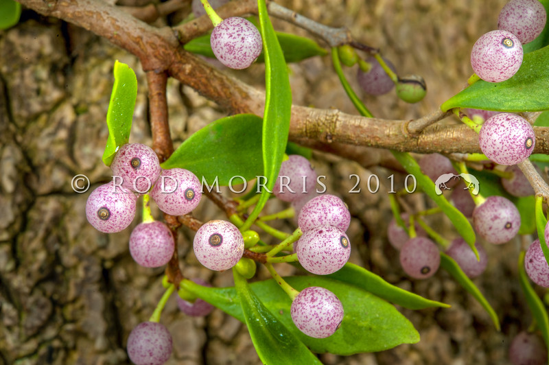 DSC_9761 White mistletoe, or pirita (Tupeia antarctica) white or pink fruits in autumn (late May). This endemic mistletoe is parasitic on Hoheria angustifolia and Coprosma. It is now rare in many areas because it is extremely vulnerable to possum browse. Owaka Valley *