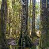 DSC_3156 Kahikatea (Dacrycarpus dacrydiodes) tall trunks with butressed roots on lake shore at Whirinaki *