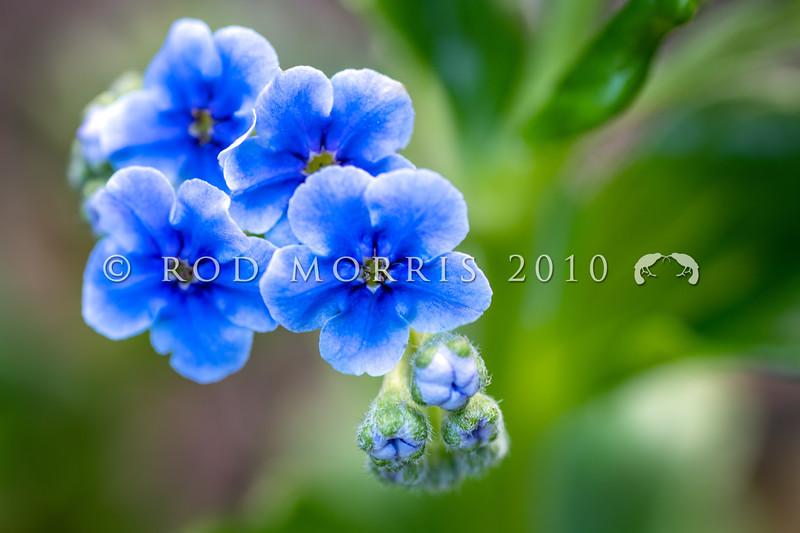 DSC_5659 Chatham Island forget-me-not (Mysotidium hortense) detail of blue flowers. Mangere Island, Chathams Group *