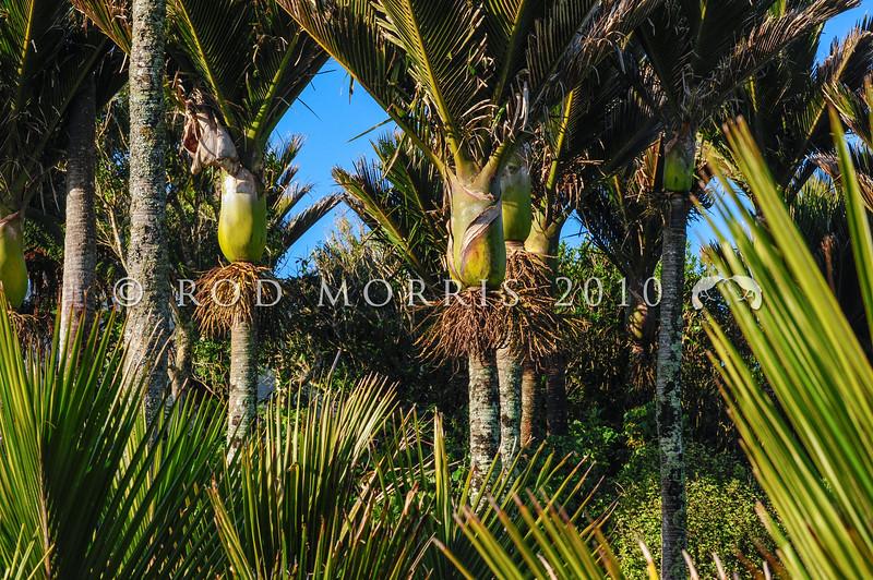 DSC_2372 Nikau (Rhopalostylis sapida) dense grove of palms growing on the coast. Punakaiki *