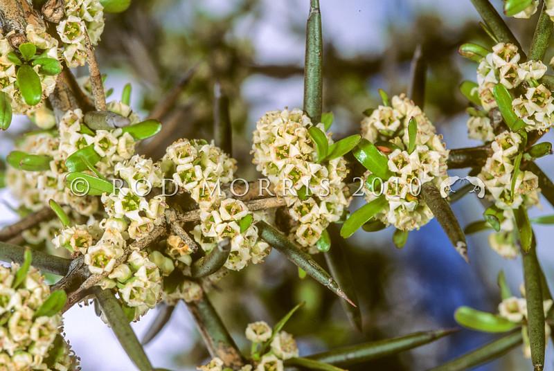 11009-23408  Matagouri (Discaria toumatou) flowering stem. November
