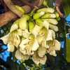 DSC_0738 Three Kings vine (Tecomanthe speciosa) a vigorous climber of tropical appearance. Discovered on the Three Kings Islands, 55 km off the northern tip of New Zealand, during a scientific survey in 1945, only one plant has ever been found in the wild. The long cream-coloured tubular flowers emerging directly from the stem in dense clusters, have a 'musky' scent and appear to be adapted to be pollinated by bats, however the flowers are also readily pollinated by tui and bellbirds *