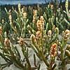 DSC_0295 Glasswort, or ureure (Sarcocornia quinqueflora) a flowering plant of the salt marsh, upper intertidal zone. Often found on raised shell banks and muddy shingle. Aramoana *