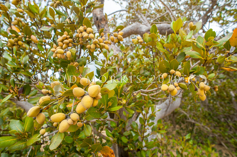 DSC_6678 Mangrove (Avicennia marina australasica) showing fruit. This pioneer species is the most widespread of the world's mangroves. The fruit matures into a floating seed pod which can survive in sea water and accounts for its ability to colonize new areas. Matapouri Bay