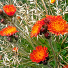 DSC_1834 Orange hawkweed (Pilosella aurantiaca) an introduced weed from the alpine regions of central and southern Europe, where it is protected in several regions. European names include 'fox-and-cubs', tawny hawkweed, and 'devil's paintbrush'. Lake Tennyson *