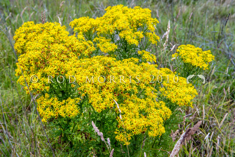 DSC_4725 Ragwort (Jacobaea vulgaris) is an invasive agricultural pest plant in New Zealand, and is poisonous to cattle and horses.. It grows in waste places (such as here), riparian margins, open forest and swamps. It provides food plant for the caterpillars of two colourful, day flying moths - the native Magpie moth (Nyctemera annulata), and the introduced Cinnibar moth (Tyria jacobaeae). Dunedin *