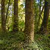 DSC_3081 Tawa (Beilschmiedia tawa) forest interior. Whirinaki *