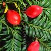 11009-06301  Miro (Prumnopitys ferruginea) leaves and large red fleshy fruits on tree. Dunedin *