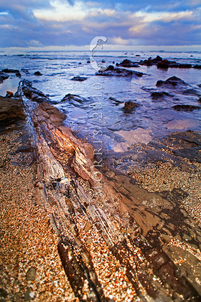 DSC_2082 Petrified forest. The petrified log of an ancient tree from the Jurrasic period (180mya), and closely related to Agathis and Araucaria, lies partially embedded in volcanic mudstone, on the shore platform at Curio Bay on the Waikawa Coast.