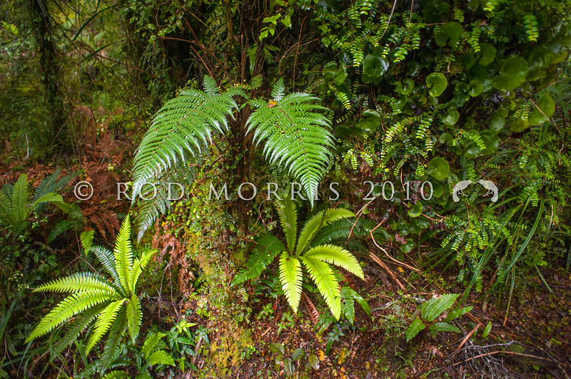 DSC_9831 A selection of New Zealand native ferns, including Brown tree fern (Dicksonia squarrosa), Crown fern (Blechnum discolor), and Kidney fern (Hymenophyllum nephrophyllum), scrambling amongst White climbing rata (Metrosideros diffusa) in coastal forest. Jackson Bay, South Westland *