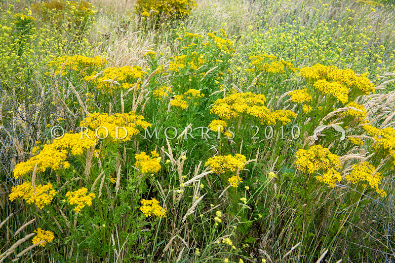 DSC_4716 Ragwort (Jacobaea vulgaris) is an invasive agricultural pest plant in New Zealand, and is poisonous to cattle and horses.. It grows in waste places (such as here), riparian margins, open forest and swamps. It provides food plant for the caterpillars of two colourful, day flying moths - the native Magpie moth (Nyctemera annulata), and the introduced Cinnibar moth (Tyria jacobaeae). Dunedin *