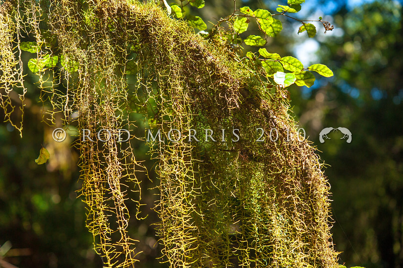 DSC_0170 Old man's beard (Weymouthia mollis) hanging from the branches of putaputaweta (Carpodetus serratus). This distinctive hanging moss also grows in Argentina and Australia. Makarora Valley *