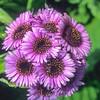 1009-33204 Giant aster (Pleurophyllum speciosum) flowers on Campbell Island
