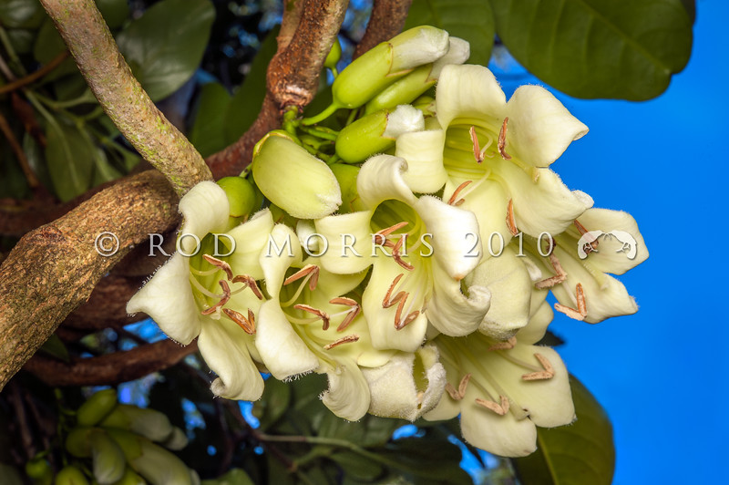 DSC_0743 Three Kings vine (Tecomanthe speciosa) a vigorous climber of tropical appearance. Discovered on the Three Kings Islands, 55 km off the northern tip of New Zealand, during a scientific survey in 1945, only one plant has ever been found in the wild. The long cream-coloured tubular flowers emerging directly from the stem in dense clusters, have a 'musky' scent and appear to be adapted to be pollinated by bats, however the flowers are also readily pollinated by tui and bellbirds *