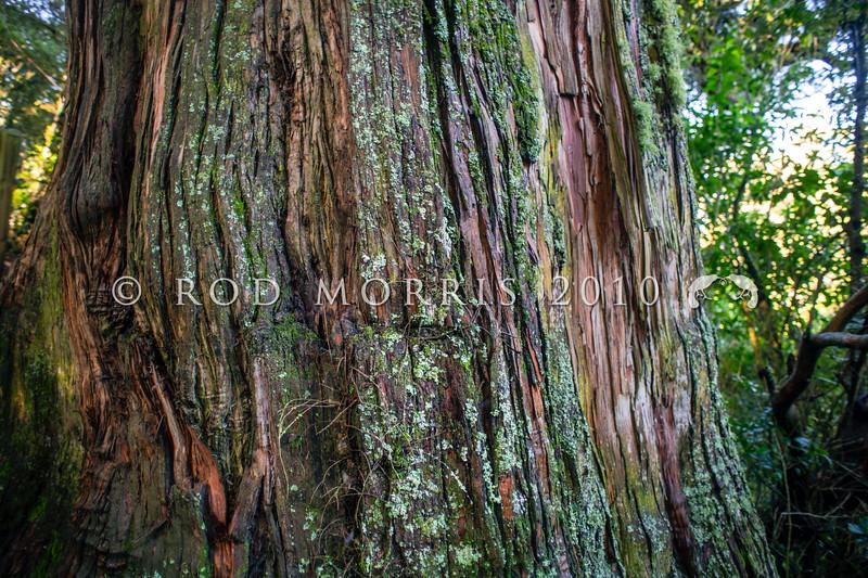DSC_4989 Totara (Podocarpus totara var. totara) bark of an ancient 400+ year old tree in Peel Forest *