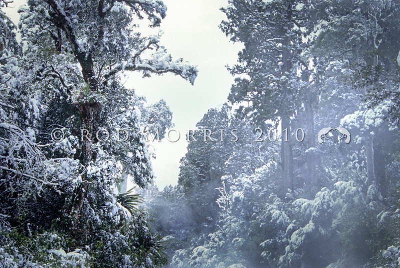 11009-07115 Rimu (Dacrydium cupressinum) forest in fresh snow. Mount Ruapehu