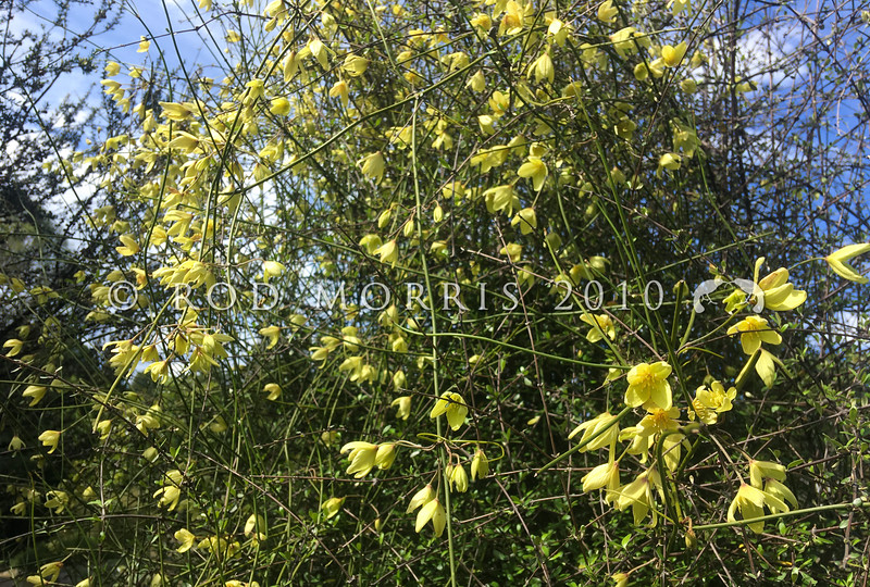 IMG_0953 Leafless Clematis (Clematis afoliata) in flower in November. Found in open rocky shrublands in the lower North Island, and the South Island, where it can also be found in tussock grasslands. Stems are up to 3m long, stiff, wiry and grooved, often forming large bundles with a 'tangled wire' appearance. Otago Peninsula *