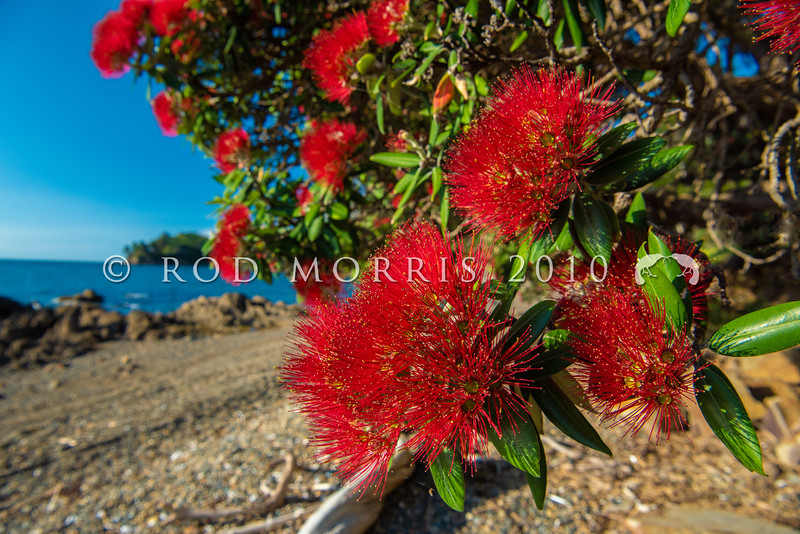 DSC_3652  Pohutukawa (Metrosideros excelsa) detail of flowers on a tree growing on the coast. Pohutukawa once formed extensive forests around our northern coastlines. Coromandel Peninsula *