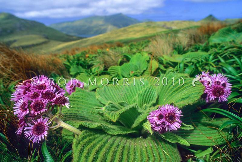11009-33124  Giant aster (Pleurophyllum speciosum) in flower on Campbell Island
