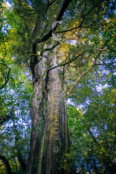 DSC_4975 Totara (Podocarpus totara var. totara) trunk of an ancient 400+ year old tree in Peel Forest *