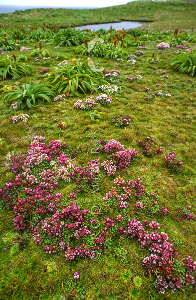 11009-44212 Auckland Island gentian (Gentianella cerina) red, pink, and white flowering plants scattered across a subantarctic turf meadow, with yellow-flowered Ross lily (Bulbinella hookeri) behind. Northwest coast of Enderby Island, Aucklands Group *