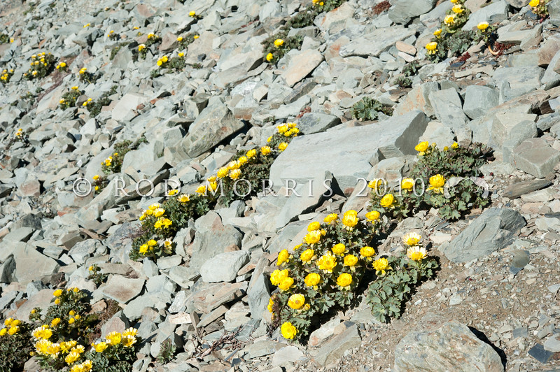DSC_6664 Scree buttercup (Ranunculus acraeus) a nationally endangered 'mountain buttercup' found high on the greywacke screes of South Canterbury and North Otago, sometimes alongside (Ranunculus haastii). St Mary's Range.