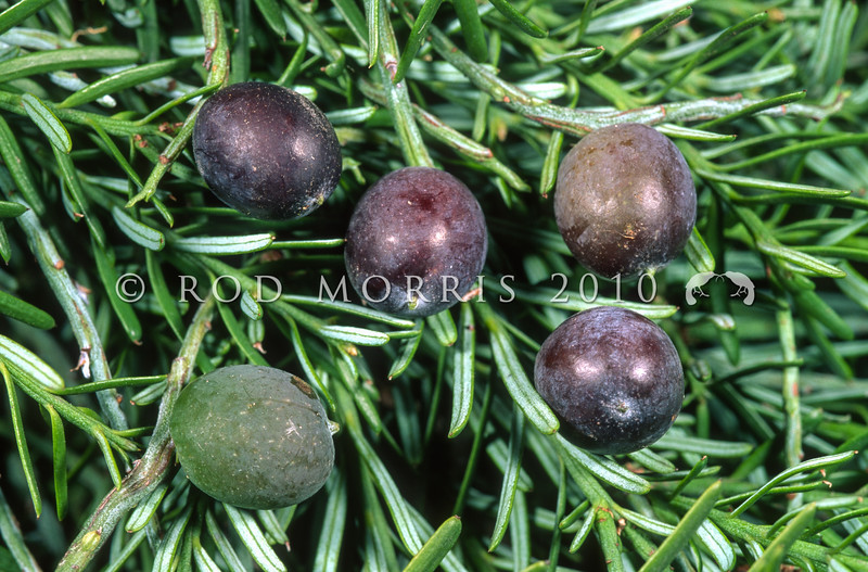 11009-06207  Matai (Prumnopitys taxifolia) leaves and large purple-black fleshy fruits on tree. Oamaru *