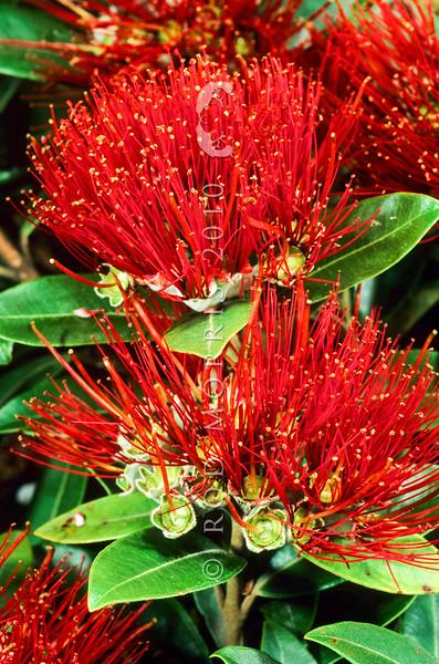 11009-16817 Pohutukawa (Metrosideros excelsa) scarlet flowers from Rangitoto *