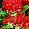 11009-16817 Pohutukawa (Metrosideros excelsa) scarlet flowers from Rangitoto.