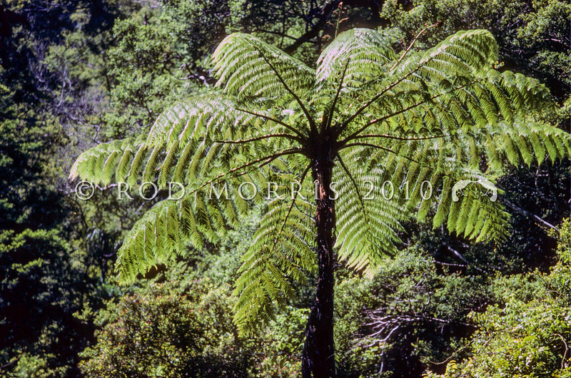 11009-01009  Mamaku, or Black tree fern (Cyathea medullaris) our tallest tree fern, and one which also grows on Pacific Islands from Fiji to Pitcairn. Trees may be up to 20m tall, with fronds up to 6m long. A common species in lowland forests. Karamea *