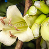 DSC_0761 Three Kings vine (Tecomanthe speciosa) a vigorous climber of tropical appearance. Discovered on the Three Kings Islands, 55 km off the northern tip of New Zealand, during a scientific survey in 1945, only one plant has ever been found in the wild. The long cream-coloured tubular flowers emerging directly from the stem in dense clusters, have a 'musky' scent and appear to be adapted to be pollinated by bats, however the flowers are also readily pollinated by tui and bellbirds *